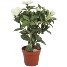 White  Azalea  In  Pot